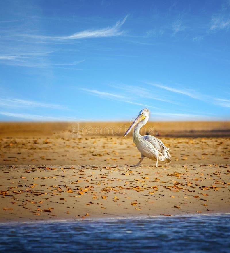 Los fescens Pelican o Pelecanus, con respaldo rosa, van a la playa en el mar Laguna Somone en África, Senegal Es imágenes de archivo libres de regalías