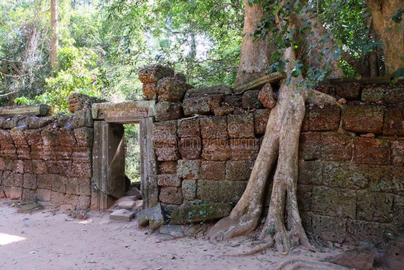 Los ficus enormes crecen en la pared de piedra vieja El ?rbol destruye la pared de piedra antigua con sus ra?ces fotografía de archivo