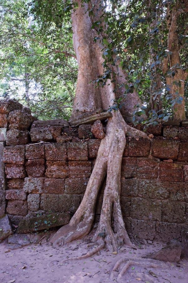 Los ficus enormes crecen en la pared de piedra vieja El ?rbol destruye la pared de piedra antigua con sus ra?ces imagen de archivo
