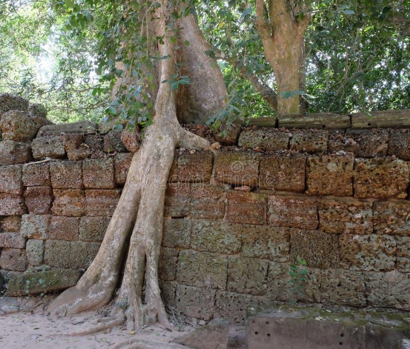 Los ficus enormes crecen en la pared de piedra vieja El ?rbol destruye la pared de piedra antigua con sus ra?ces imagen de archivo libre de regalías