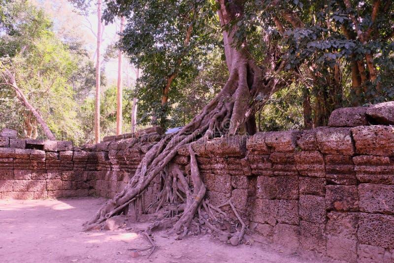 Los ficus enormes crecen en la pared de piedra vieja El ?rbol destruye la pared de piedra antigua con sus ra?ces imagenes de archivo