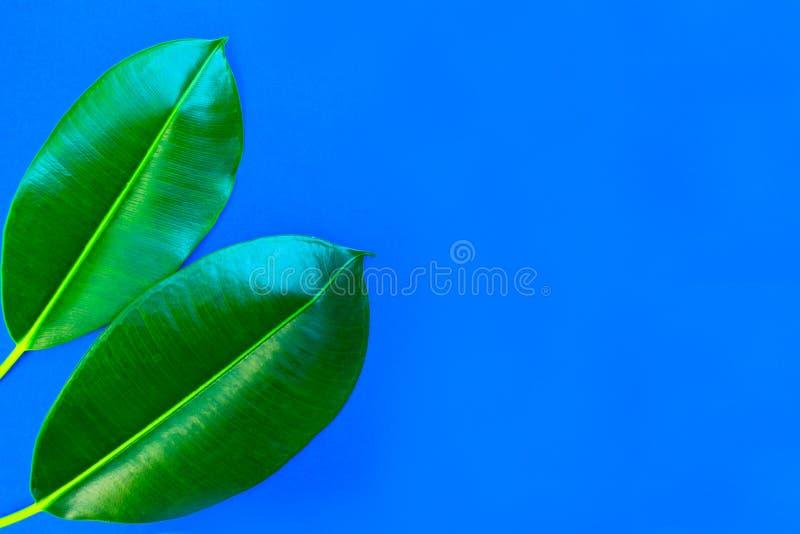 Los ficus se van en un fondo azul Concepto del verano Imagen plana con el espacio de la copia imágenes de archivo libres de regalías