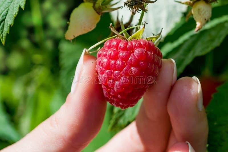 Los fingeres femeninos despluman la baya madura de la frambuesa roja de Bush con las hojas verdes, paisaje fotografía de archivo