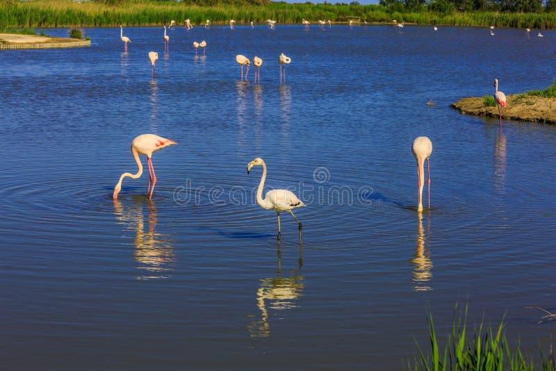 Los flamencos rosados en el delta bajo de Rhone del conducto fotografía de archivo libre de regalías