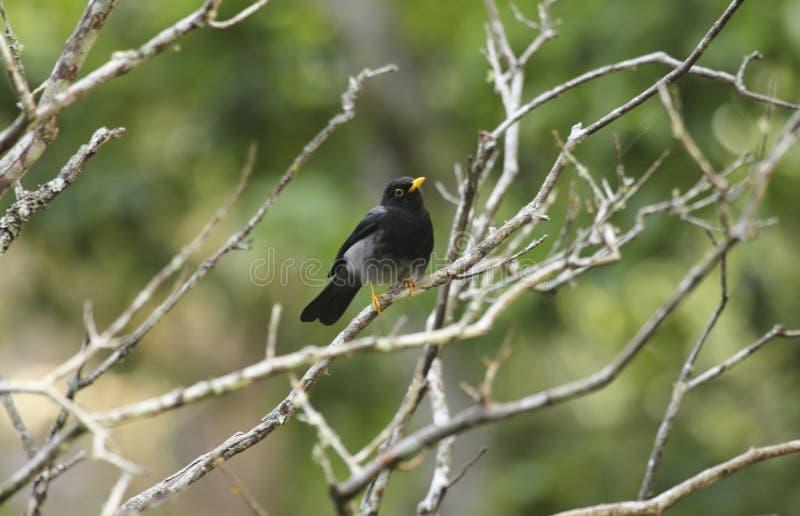 Los flavipes Amarillo-legged de Platycichla del tordo del pájaro neotropic hermoso se encaramaron en la selva tropical imagen de archivo