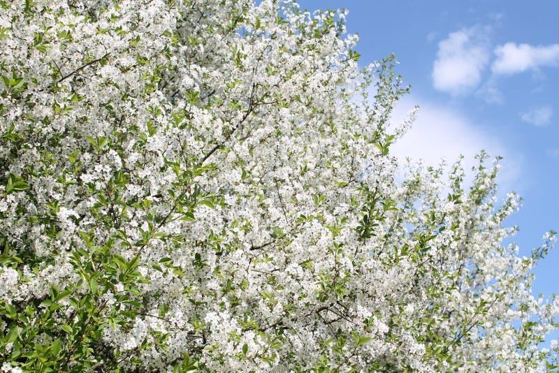 Los flores del cerezo adentro pueden imagenes de archivo