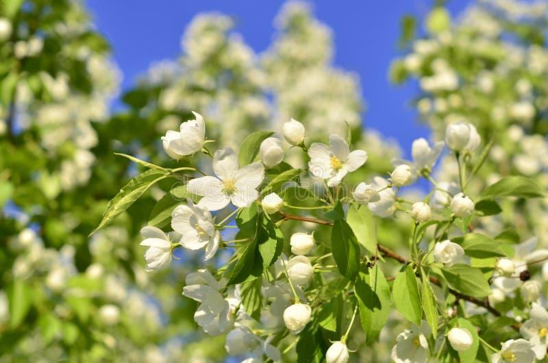 Los flores del manzano en la primavera imágenes de archivo libres de regalías