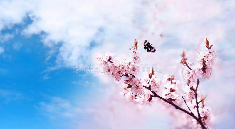 Los flores rosados de la cereza se cierran para arriba Cerezo floreciente Fondo floral del resorte Mariposa en fondo del cielo az imágenes de archivo libres de regalías