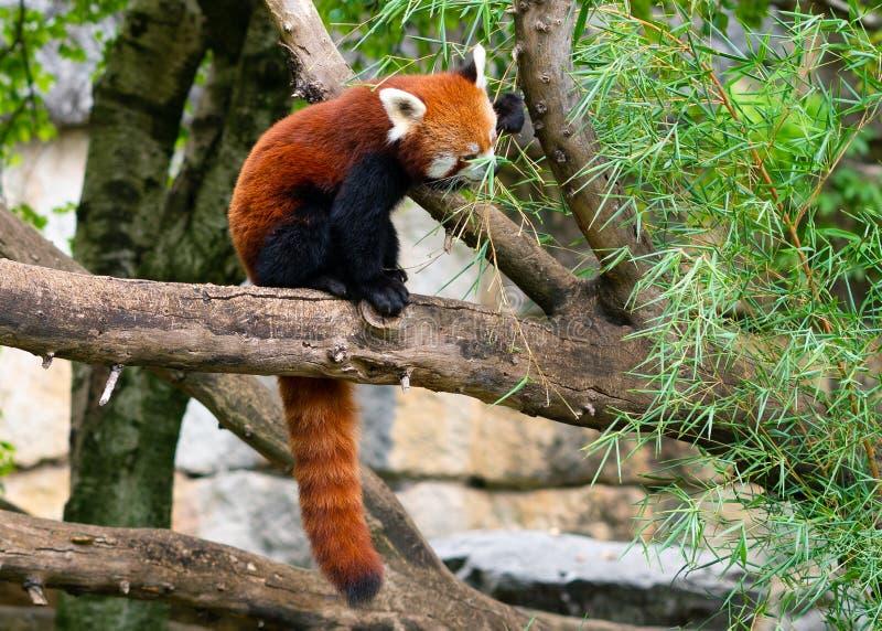 Los fulgens del Ailurus de la panda roja o poca panda que comen el bambú se va fotografía de archivo libre de regalías