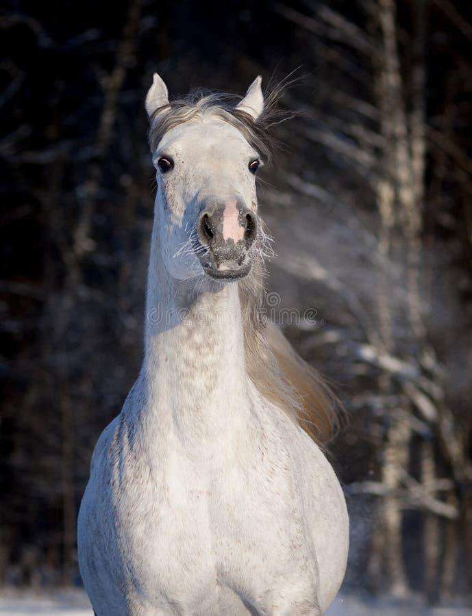 Los funcionamientos árabes del caballo liberan en retrato del invierno fotos de archivo