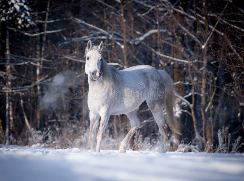 Los funcionamientos árabes libres del caballo liberan en campo imagenes de archivo