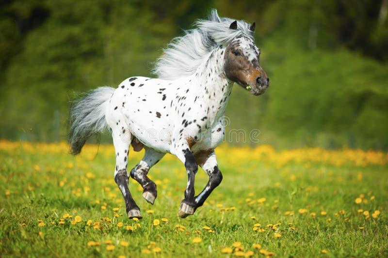 Los funcionamientos del caballo del Appaloosa galopan en el prado en tiempo de verano fotos de archivo