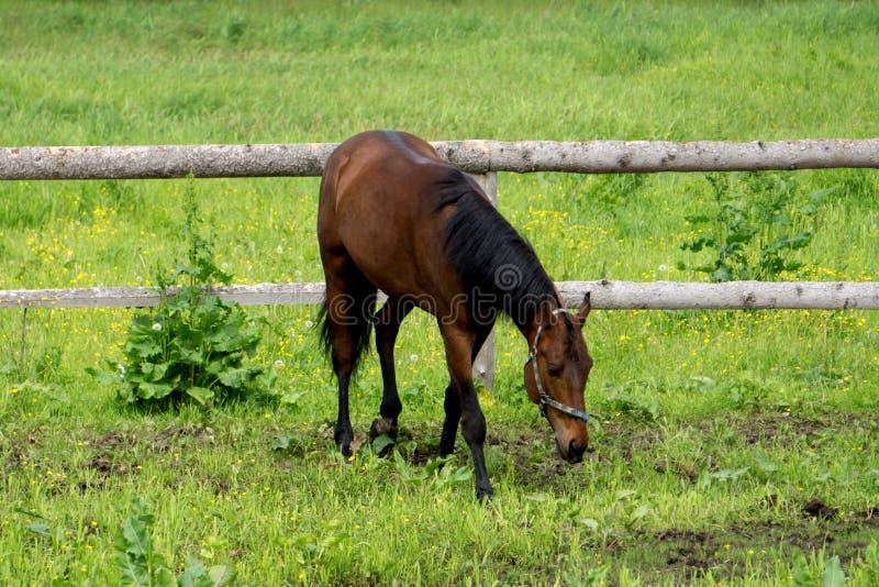 Los funcionamientos frisios negros del caballo galopan en tiempo de verano foto de archivo libre de regalías