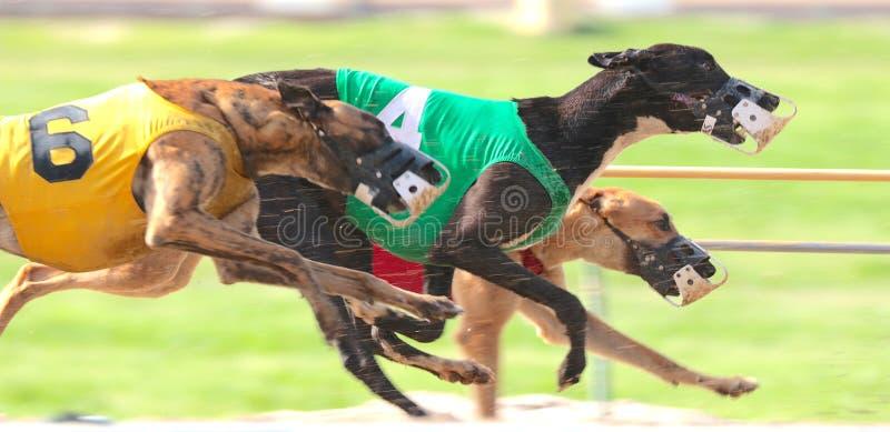 Los galgos esprintan abajo del circuito de carreras en una raza muy cercana del perro imagen de archivo