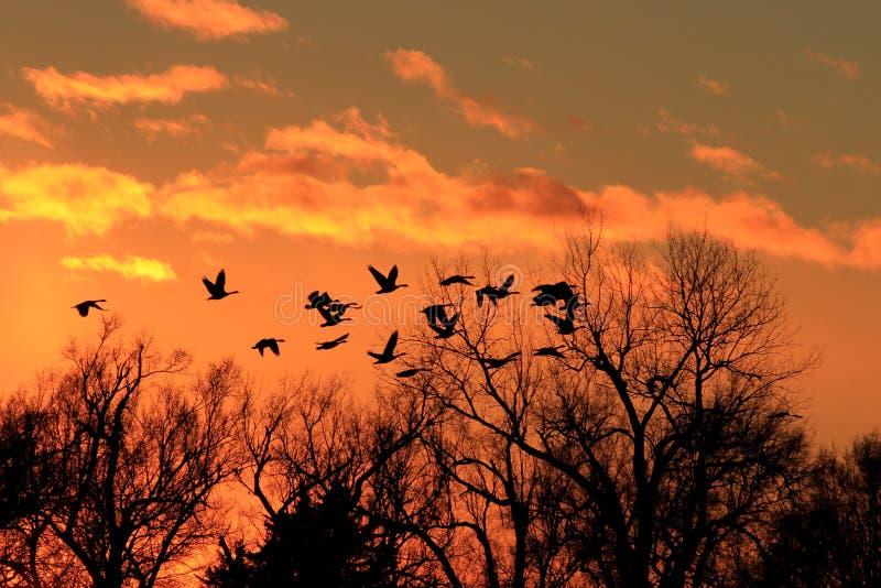 Los gansos canadienses siluetean con una puesta del sol colorida fotografía de archivo libre de regalías