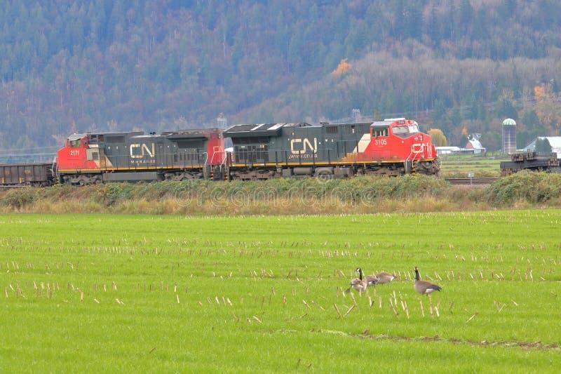 Los gansos de Canadá miran el paso del tren del NC fotos de archivo libres de regalías