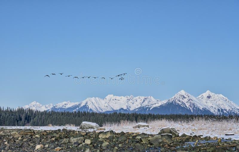 Los gansos de Canadá se reúnen el vuelo en Alaska suroriental foto de archivo libre de regalías