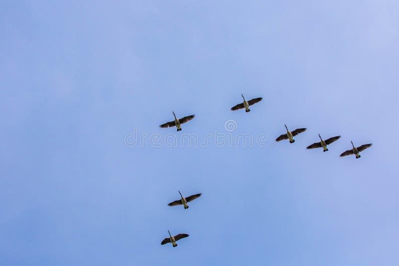 Los gansos se reúnen el sur que vuela como frío que viene del invierno fotos de archivo