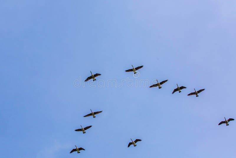 Los gansos se reúnen el sur que vuela como frío que viene del invierno foto de archivo libre de regalías