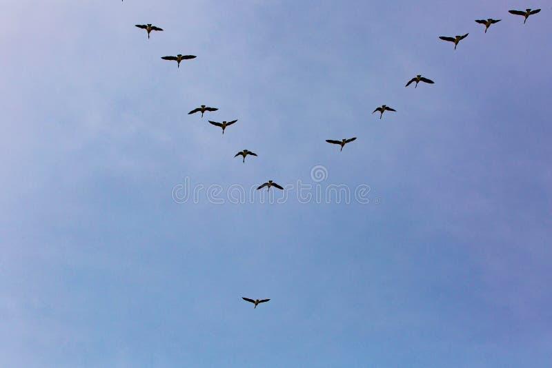 Los gansos se reúnen el sur que vuela como frío que viene del invierno imagenes de archivo