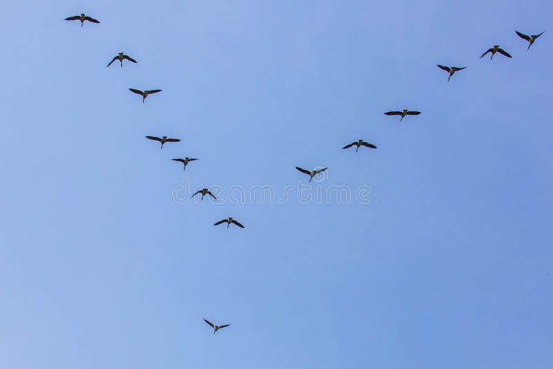 Los gansos se reúnen el sur que vuela como frío que viene del invierno fotografía de archivo libre de regalías