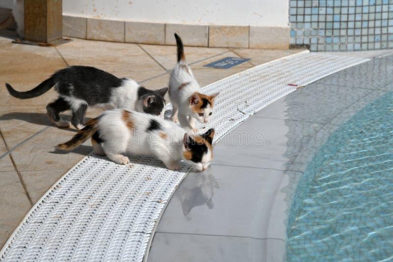 Los gatitos beben el agua de la piscina afuera fotografía de archivo