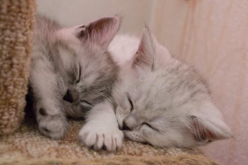 Los gatitos rayados lindos duermen en mi lado en casa del comecem foto de archivo