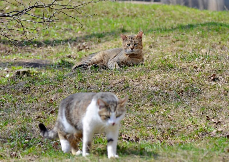 Los gatos grises caminan en el césped, el concepto de primavera fotos de archivo