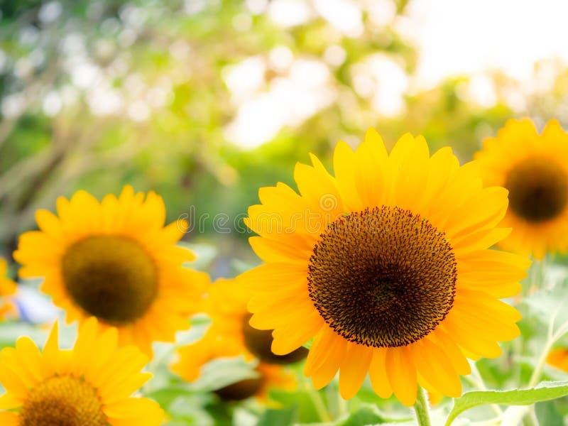 Los girasoles están floreciendo en el jardín de la estación de verano imagen de archivo