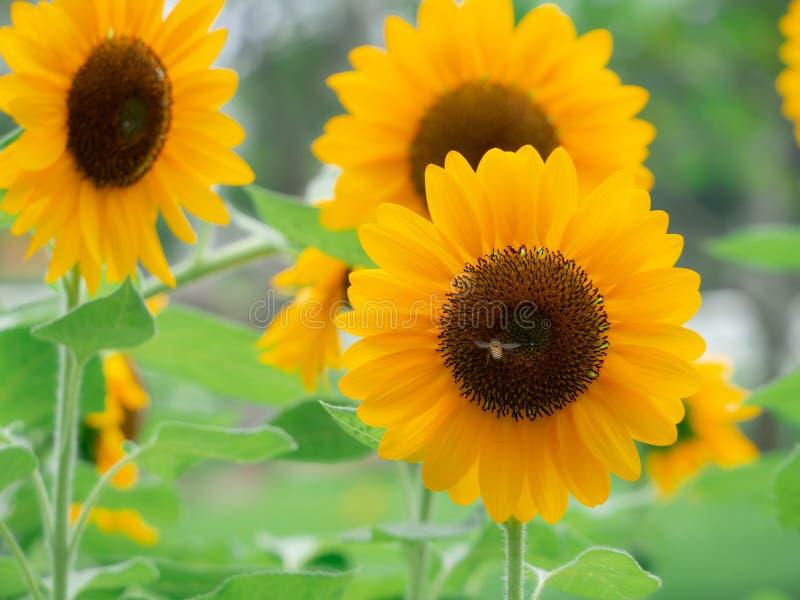 Los girasoles están floreciendo en el jardín de la estación de verano fotografía de archivo