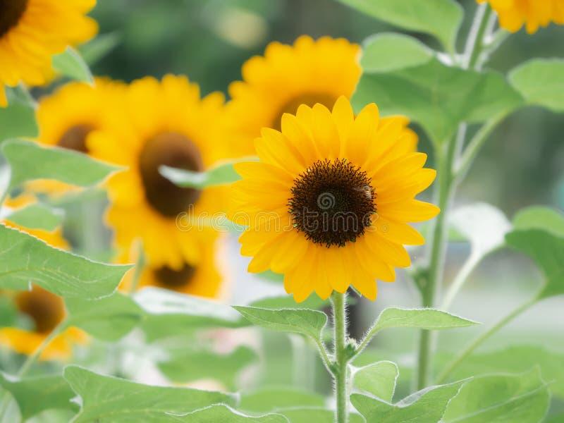 Los girasoles están floreciendo en el jardín de la estación de verano fotografía de archivo libre de regalías