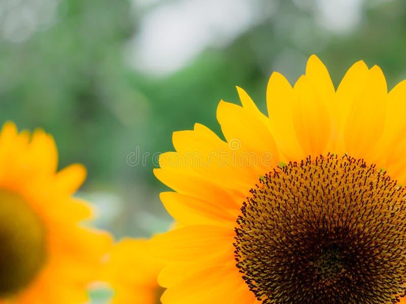 Los girasoles están floreciendo en el jardín de la estación de verano fotos de archivo