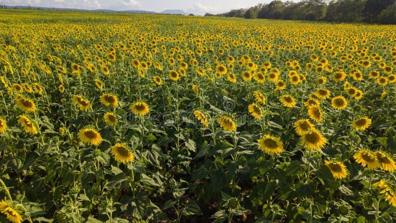 Los girasoles florecientes Campo de los girasoles Agricultura imagenes de archivo