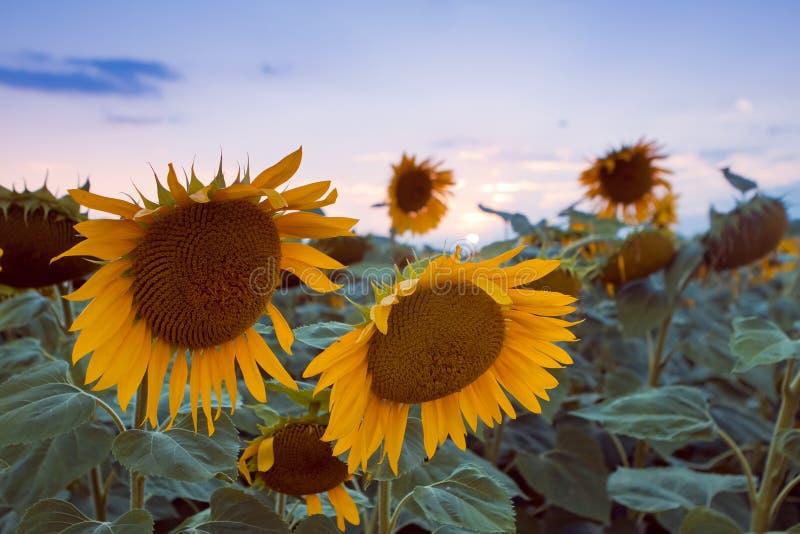Los girasoles grandes florecen en campo del verano de la última igualación contra el cielo de la puesta del sol, después de tempe fotos de archivo libres de regalías