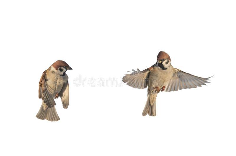 Los gorriones de los pájaros que revoloteaban en un blanco aislaron el fondo imagenes de archivo