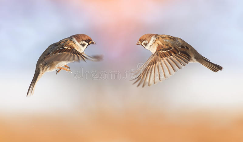 Los gorriones divertidos de los pájaros están volando hacia uno a, extensión de las alas foto de archivo libre de regalías