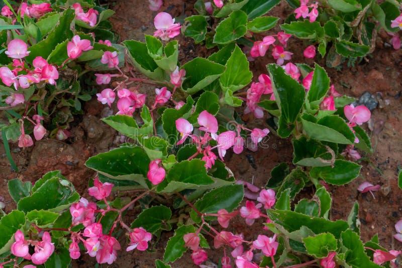 Los grandis de la begonia se secan foto de archivo