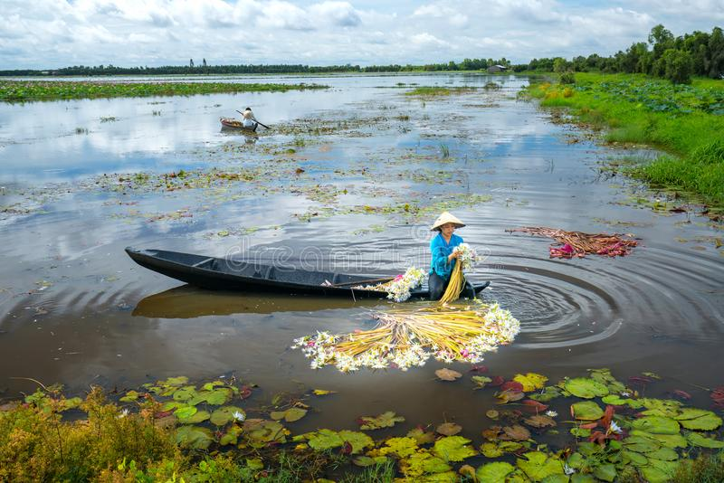 Los granjeros están limpiando lirios después de cosecha debajo de pantanos en la estación de la inundación foto de archivo libre de regalías
