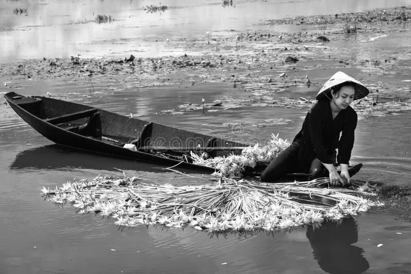 Los granjeros están limpiando lirios después de cosecha debajo de pantanos en la estación de la inundación imagenes de archivo