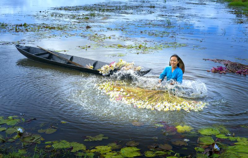 Los granjeros están limpiando lirios después de cosecha debajo de pantanos en la estación de la inundación fotografía de archivo libre de regalías