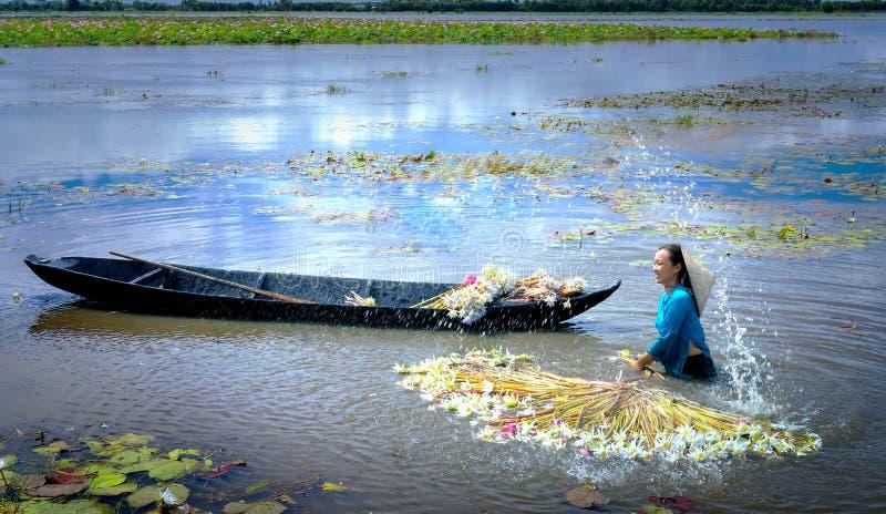 Los granjeros están limpiando lirios después de cosecha debajo de pantanos en la estación de la inundación imagen de archivo libre de regalías