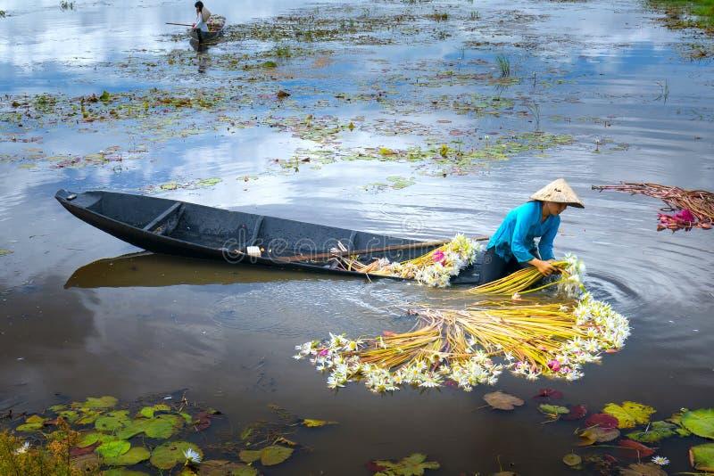 Los granjeros están limpiando lirios después de cosecha debajo de pantanos en la estación de la inundación foto de archivo