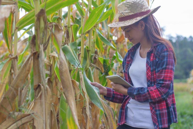 Los granjeros jovenes están mirando los campos de maíz cerca de cosecha imagen de archivo