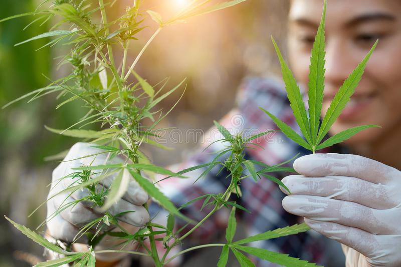 Los granjeros jovenes llevan guantes para comprobar árboles de la marijuana Concepto de medicina alternativa herbaria imagen de archivo libre de regalías