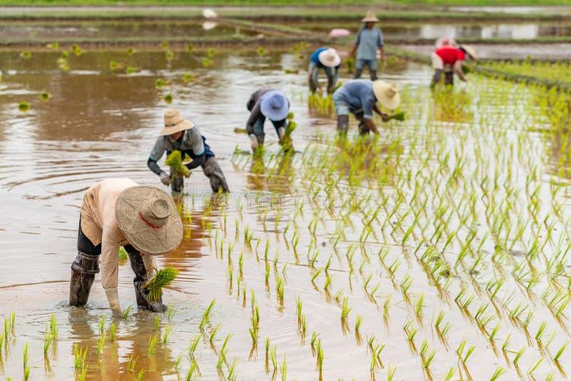 Los granjeros tailandeses trasplantan almácigos del arroz en un campo de arroz imágenes de archivo libres de regalías