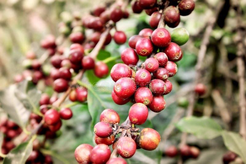 Los granos de café están recientemente imagenes de archivo
