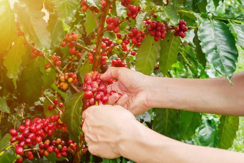 Los granos de café de la cereza dan la cosecha, bayas de café del arabica fotos de archivo
