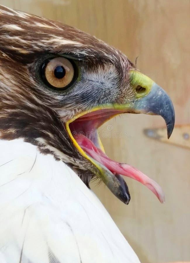 Los gritos de Hawl del Redtail con la boca de Beae Outk abren Tongu imágenes de archivo libres de regalías
