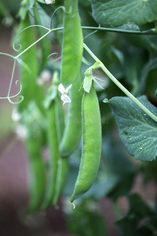 Los guisantes verdes en el huerto Foco selectivo en las vainas de guisante verdes claras frescas imagenes de archivo