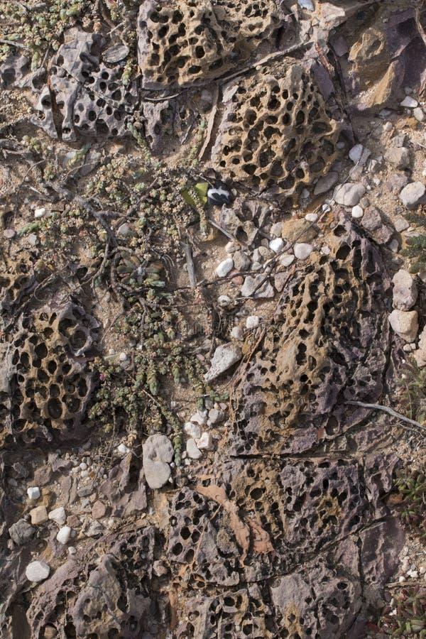 los gusanos del tubo crean los agujeros en rocas imagenes de archivo